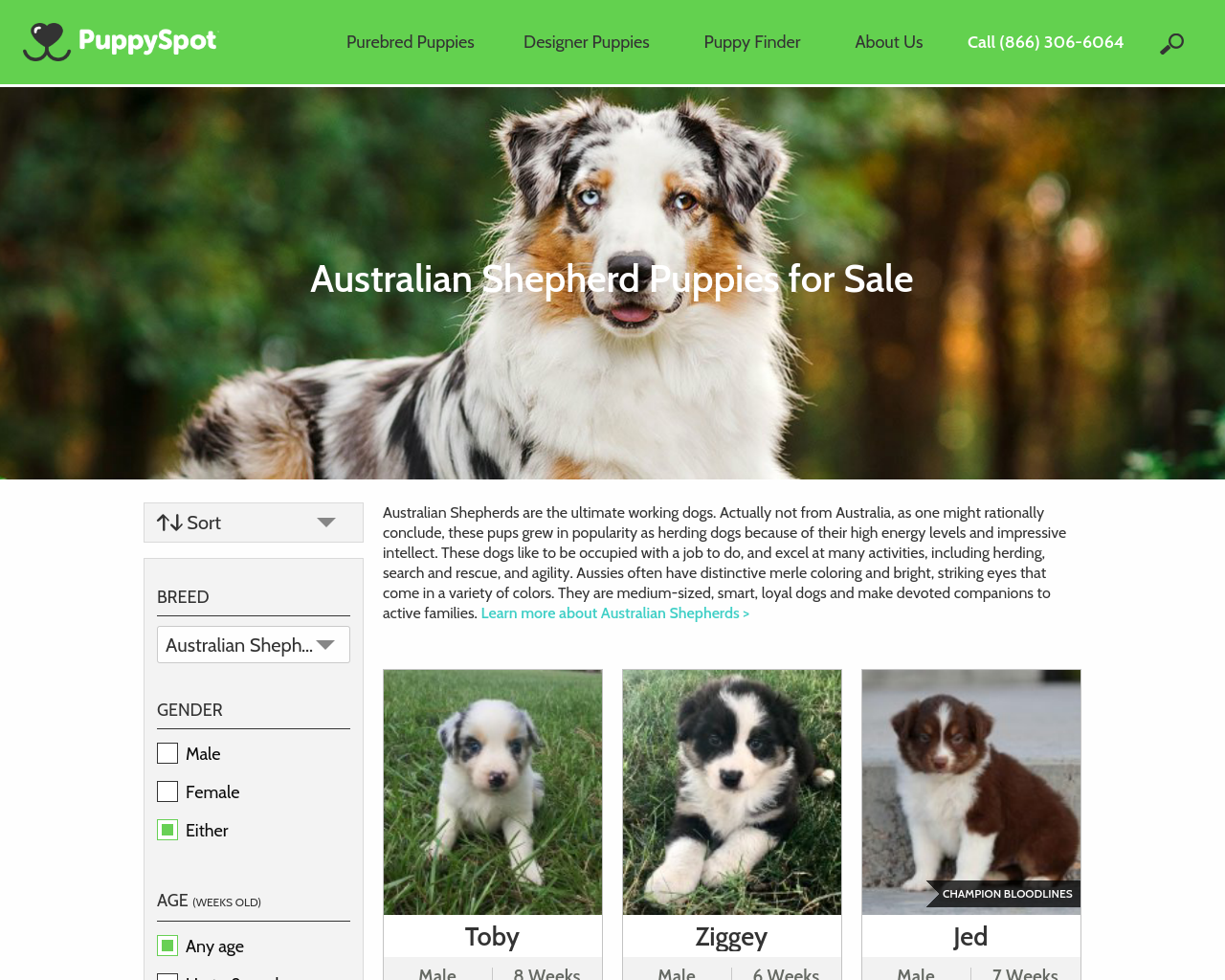 Australian-Shepherd-Puppy-Breeders-Advertising-Reviews-Pricing